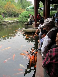 Locals gather around the koi pond and feed the fish. People's Park, Chengdu.