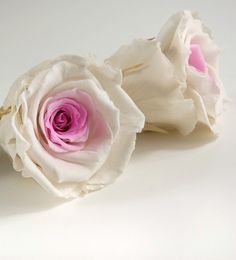 "Two Color Preserved Rose Heads 2.5"" White & Pink 6 for $29"
