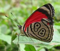 Butterfly of Equador and Peru and i saw this one in Costa Rica too