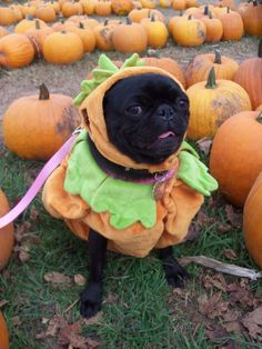 Pumpkin Patch Pug! This is so Andre @lkulba !! ❤️