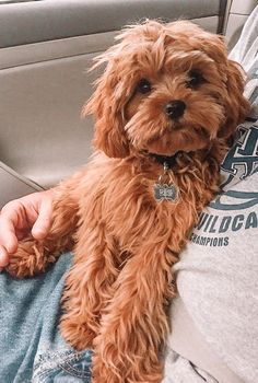 Cute Dogs And Puppies, Pet Dogs, Pets, Doggies, Dog Cat, Yorkshire Terriers, Biewer Yorkshire, Cavapoo Puppies, Poodle Puppies