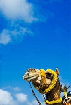 Camel Coif , India