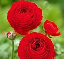 The blooms of the Ranunculus look like large buttercups. Great cut flowers and helps it produce even more blooms! Thanks to their uncomplicated appearance they combine well in any garden setting. In a cottage garden you can get away with combining all the Bulb Flowers, Red Flowers, Spring Flowers, Beautiful Flowers, Flower Colors, Persian Buttercup, Bloom, Garden Bulbs, Spring Bulbs