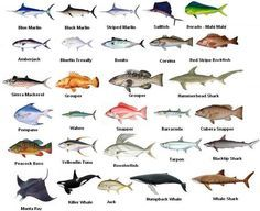 fish in the gulf of mexico | Gulf of Mexico Fish Species….. | 2012 Patriot