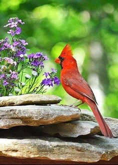 Skinny cardinal perched on rocks!  Shared by Back Roads Living!