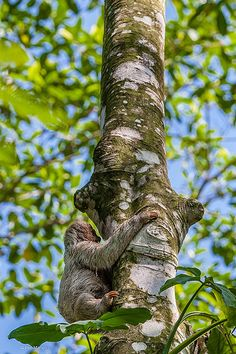 Sloth - Costa Rica | by Phil Marion