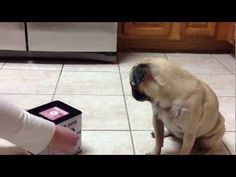 Dog-In-A-Box Scares The #Pug - #funny #dog