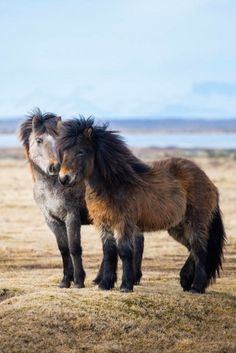 """mysleepykisser-with-feelings-hid: """" ponies on iceland by robin kamp on 500px. (more animals posts here) """""""
