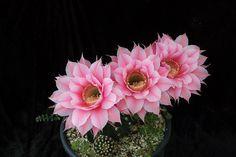 Echinopsis ''Silvia''
