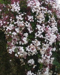 Pink Jasmine: A thirsty, speedy grower that displays fragrant, pink-white flowers, this evergreen does best in tropical areas (zones 8 through 10)