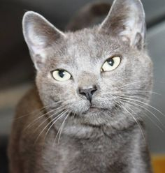 ADOPTED>Intake: 3/17 Available: 3/23 NAME: Ruthie ANIMAL ID: 31103505 BREED: DSH SEX: female EST. AGE: 1 yr Est Weight: 5.11 lbs Health: Temperament: Friendly ADDITIONAL INFO: RESCUE PULL FEE: $35