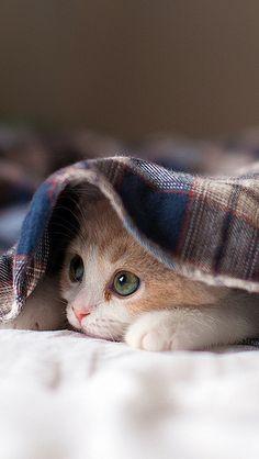 (via Sleepy Kitten Wallpaper - Free Android Wallpapers) Pretty Cats, Beautiful Cats, Animals Beautiful, Cute Kittens, Cats And Kittens, Kittens Meowing, Ragdoll Kittens, Tabby Cats, Bengal Cats