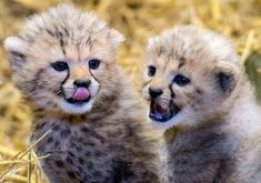 These fluffy Cheetah cubs are the first ever born at Longleat Safari Park.  Hear them chirp and purr in new video at ZooBorns.com and at http://www.zooborns.com/zooborns/2016/11/chirpin-cheetahs-twin-cubs-born-at-longleat-safari.html