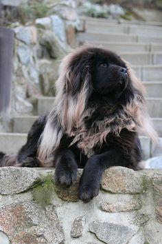 Tibetan Mastiff omg that is fantastic that looks like a lion..how incrediable so kool so kool thanks 4 sharing
