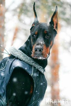 Doberman what a handsome boy