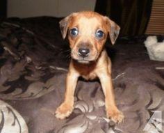 chiweenie puppies kentucky