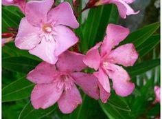 Rostlina | Oleandr, Nerium