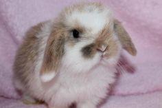 Mini-Lop Bunny Rabbit.
