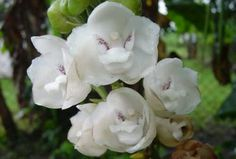 "National flower ""La Flor del Espiritu Santo"" the Holy Ghost orchid, so beautiful!!!"