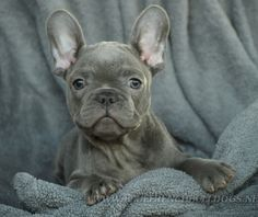 Blue french bulldog. Look at that face!!