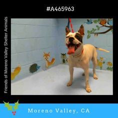 SPOT #A465963 (Moreno Valley CA) Male white and black brindle Pit Bull Terrier mix. The shelter thinks I am about 2 years old. I have been at the shelter since Dec 20 2016 and I may be available for adoption on Dec 29 2016 at 10:00AM.  http://ift.tt/2hFWn2Q  Moreno Valley Animal Shelter at (951) 413-3790 Ask for information about animal ID number A465963  #adoptdontshop #savealifeadopt #shelterdogs #dogsofinstagram #CA #morenovalley #savealifeadoptapet #fosteradog #southerncalifornia…