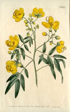 Hand colored engraving by T. Curtis, March 1, 1803 #botany #botanical #flowers