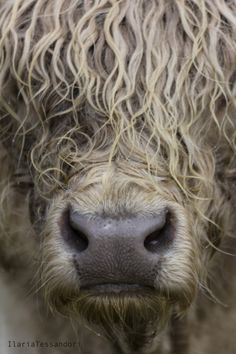 Highland cattle close up Highland Cow Art, Scottish Highland Cow, Highland Cattle, Cow Pictures, Animal Pictures, Farm Animals, Cute Animals, Animal Close Up, Fluffy Cows