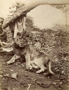 Africa: Old photo, Amazigh berber man with a barbary lion, Morocco