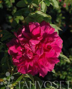 HANSARUUSU | Tahvoset Plants, Flora, Plant, Planting