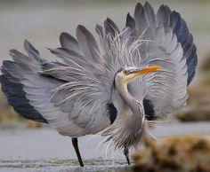 Great Blue Heron by Nigel on Flickr