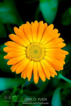 #nature Flower - Orange Daisy by carloyuen