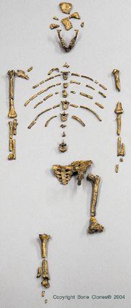 "Australopithecus afarensis - AL 288 - ""Lucy"""
