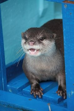 Happy Little Otter Shows Off His Little Fanglings