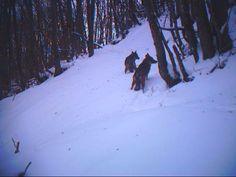 Esemplari di lupi avvistati nel Parco naturale regionale dell'#Antola