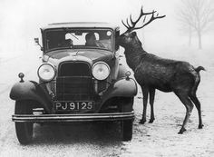 Old bw photo of car with inquisitive reindeer.