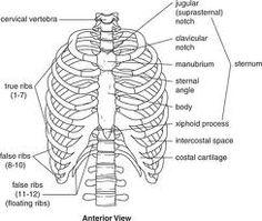 rib cage drawing | Inspiration. | Pinterest | Rib cage, Anatomy ...