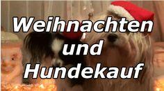 Gedanken zum Thema Weihnachten und Hundekauf.! Auf dem Foto sind eine Havaneser und eine Papillon Dame.  Musik:O Christmas Tree (Instrumental) / Jingle Punks