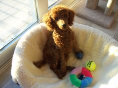 Miniature Poodle Sammy… Likes his bed and toys… Does this look like your house? Red Poodles, Mini Poodles, Standard Poodles, Brown Toy Poodle, I Love Dogs, Puppy Love, Baby Animals, Cute Animals, Yorkshire Terrier Puppies