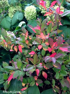 'Little Henry' Sweetspire shrub in the garden all about my garden
