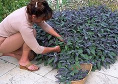 Sauge officinale (Salvia officinalis) - E. Salvia Officinalis, Potager Bio, Plantar, Irrigation, Growing Vegetables, Garden Inspiration, Vegetable Garden, Natural Remedies, Floral