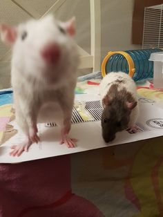 Two of our own rats; Tyrion and Ramsay