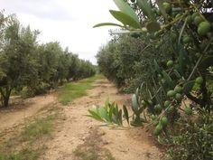 Les oliveres, amb les olives petites i verdes, falten dos mesos per la collita #sompagesos
