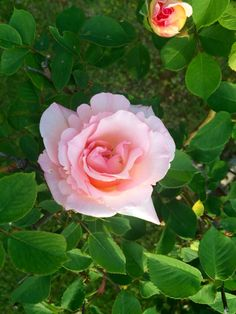Beautiful pink rose .