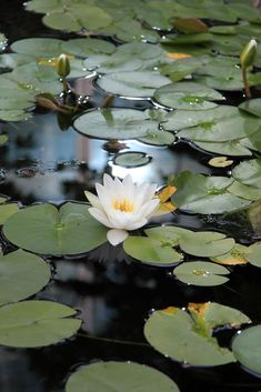 Aesthetic Images, Aesthetic Photo, Aesthetic Wallpapers, Landscape Photography, Nature Photography, Lotus Pond, Lily Pond, Seen, Flower Wallpaper