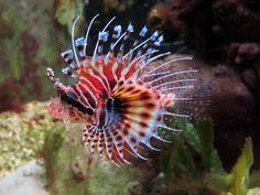 Shop Saltwater Lionfish with Saltwater Fish Haven