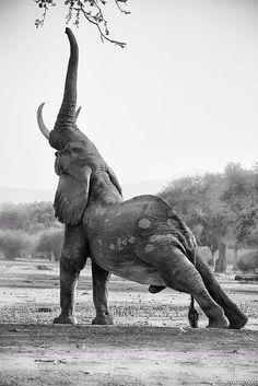 Elephant yoga, who would have guessed? Elephant yoga, who would have guessed? Nature Animals, Animals And Pets, Baby Animals, Funny Animals, Cute Animals, Animals In The Wild, Animals Planet, Elephant Photography, Wildlife Photography