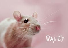 Bailey- precious whiskers rat rescue