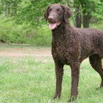 Curly Coated Retriever funny