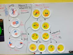Phases of meiosis activity. Students get a plate and showcase each phase of meiosis on it.