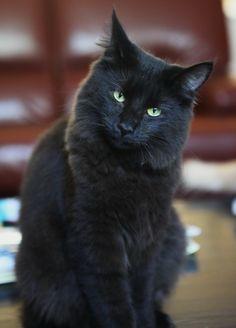 Titran's Olga Knipper , a real black clone of her grandma Zazou